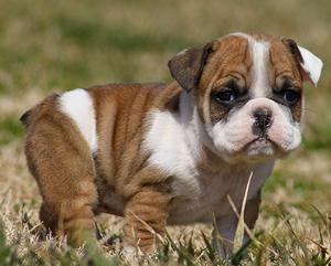 how to potty train my american bulldog puppy